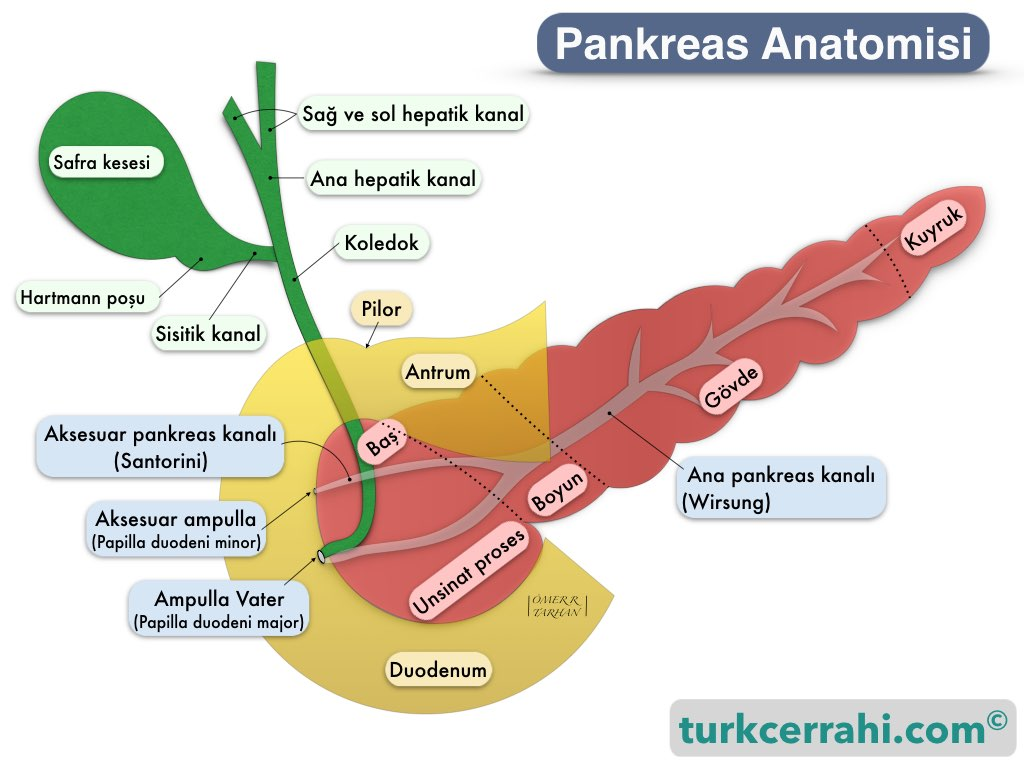 Pankreas anatomisi