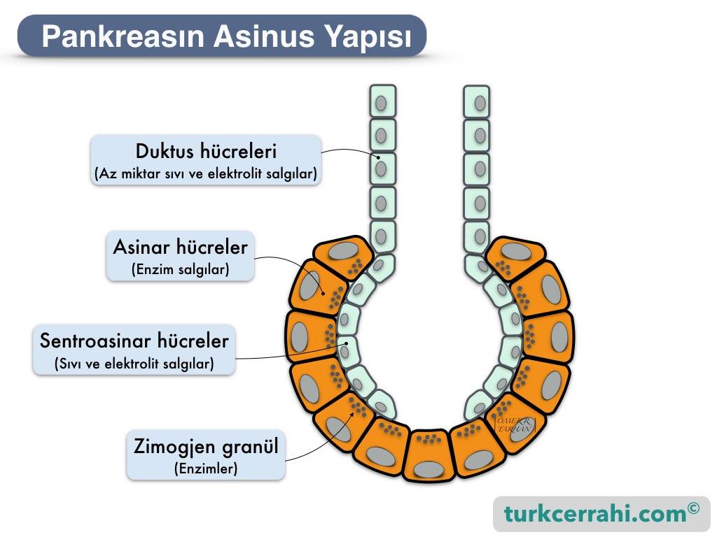 Pankreas histolojisi; asinus (asiner, acinar, acini), hücreleri, sentroasiner hücreler ve duktus hucreleri