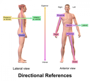 Anterior, posterior, ventral, dorsal, medial, lateral, proksimal, distal