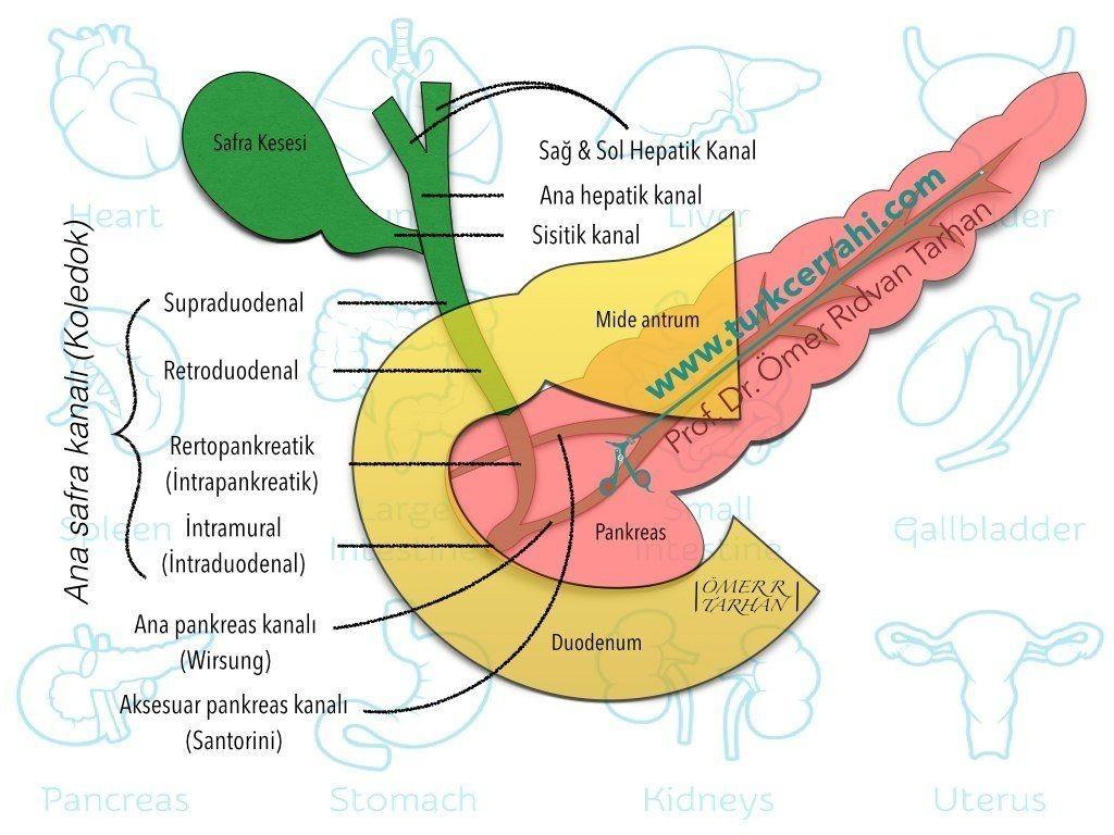 Ekstrahepatik safra yolları anatomisi