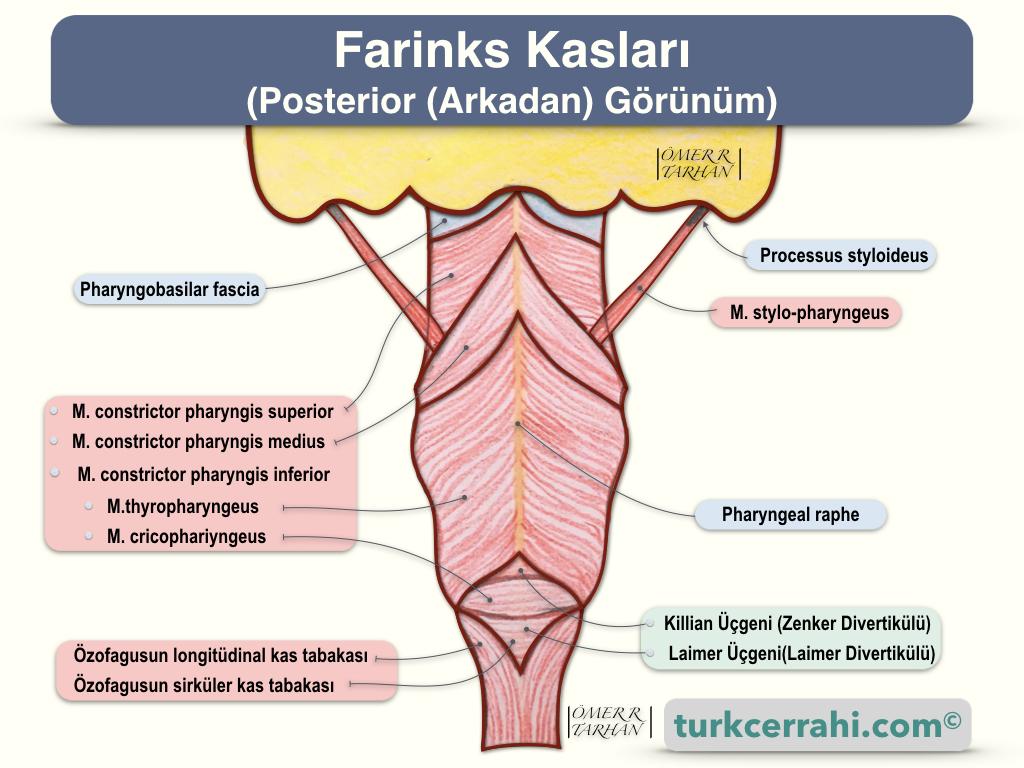 Farinks Kasları Arkadan (Posterior) Görünüm