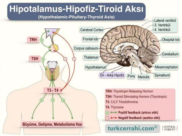 Hipotalamus - hipofiz - tiroid aksı (hypothalamic-pituitary-thyroid axis)
