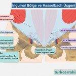 İnguinal bölge ve Hasselbach üçgeni