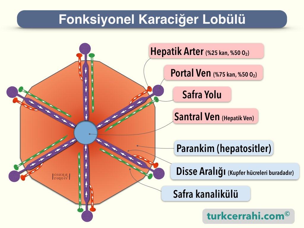 Karaciğer histolojisi