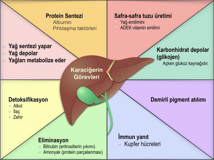 Karaciğerin Görevleri (Fonksiyonları)