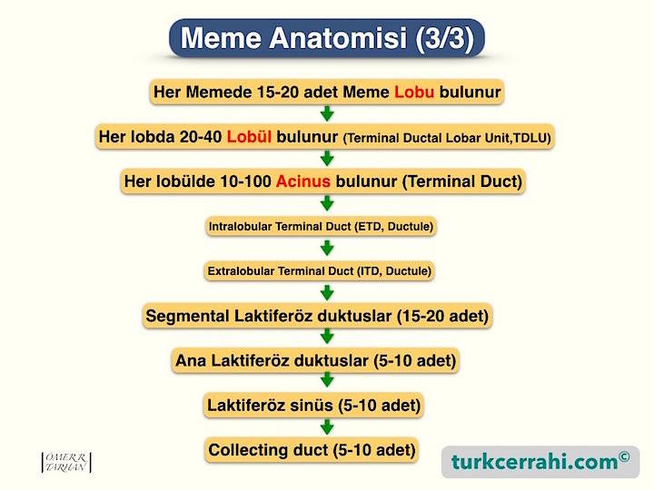 Meme anatomisi, histolojisi