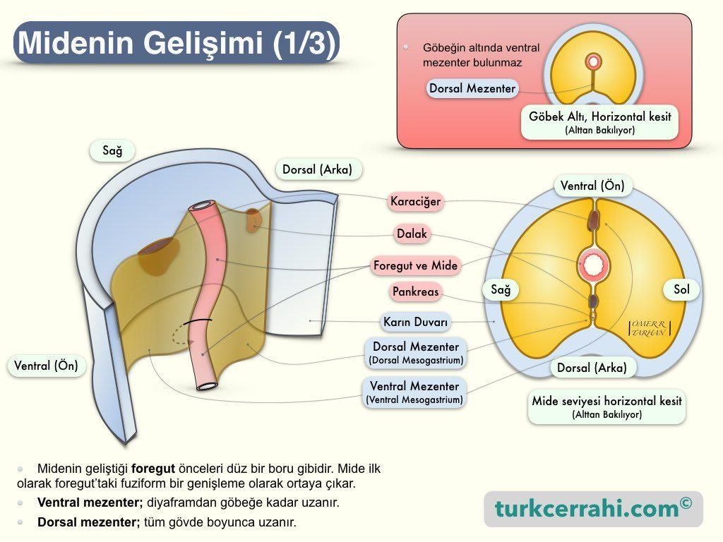 Midenin Embriyolojik Gelişimi-1