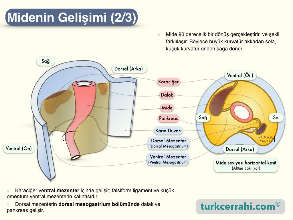 Midenin Embriyolojik Gelişimi-2