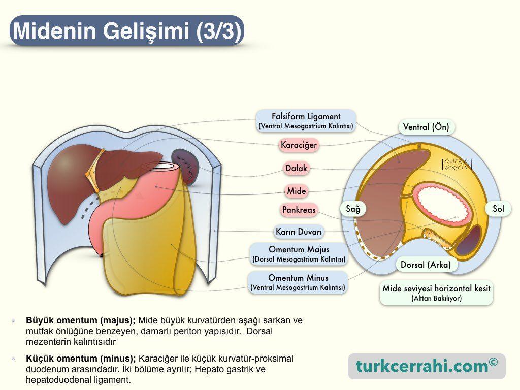 Midenin Embriyolojik Gelişimi-3