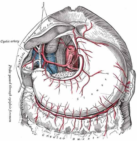 Omentum majusun damarları
