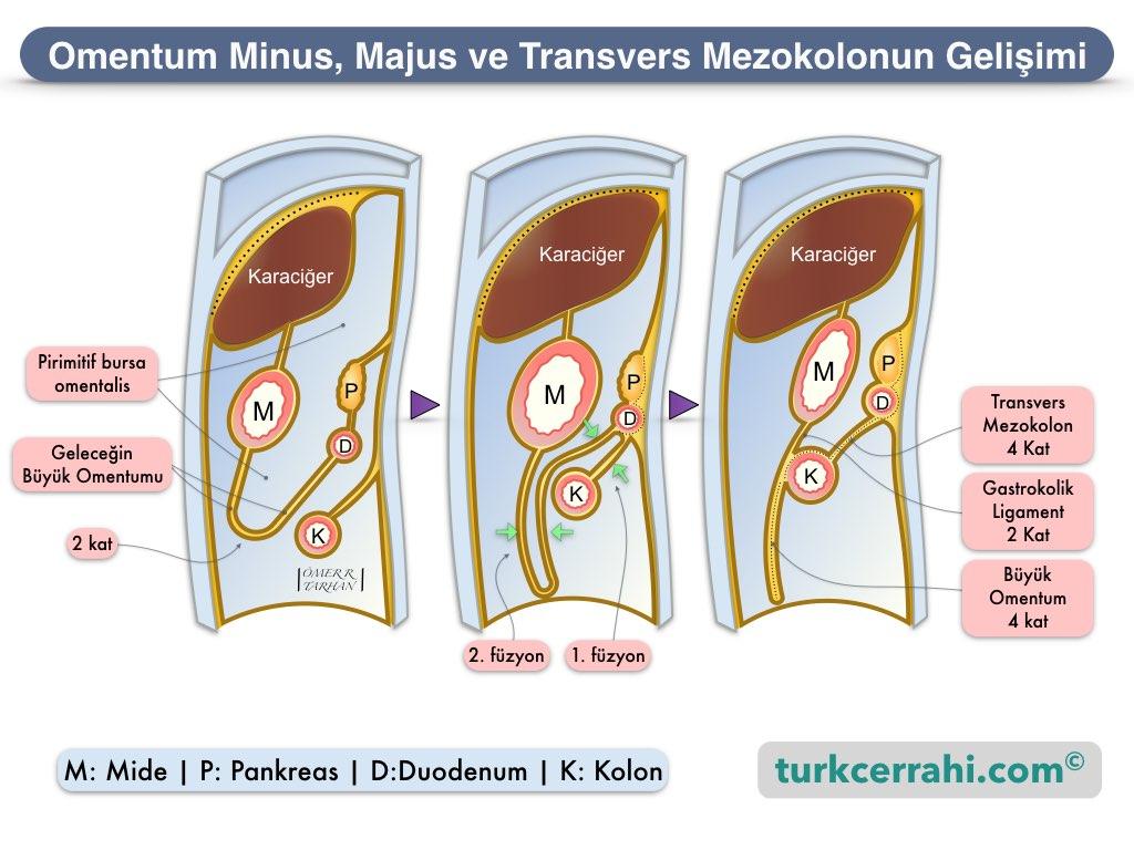 Omentum Minusve Majusun Embriyolojik Gelişimi